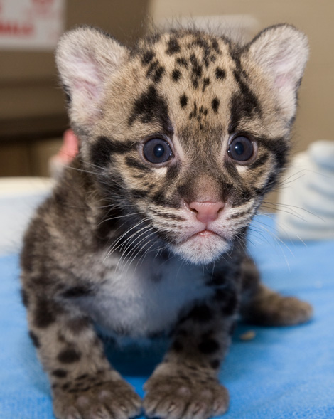 Leopards are adorable as kittens, but they'll eat you when they grow up.